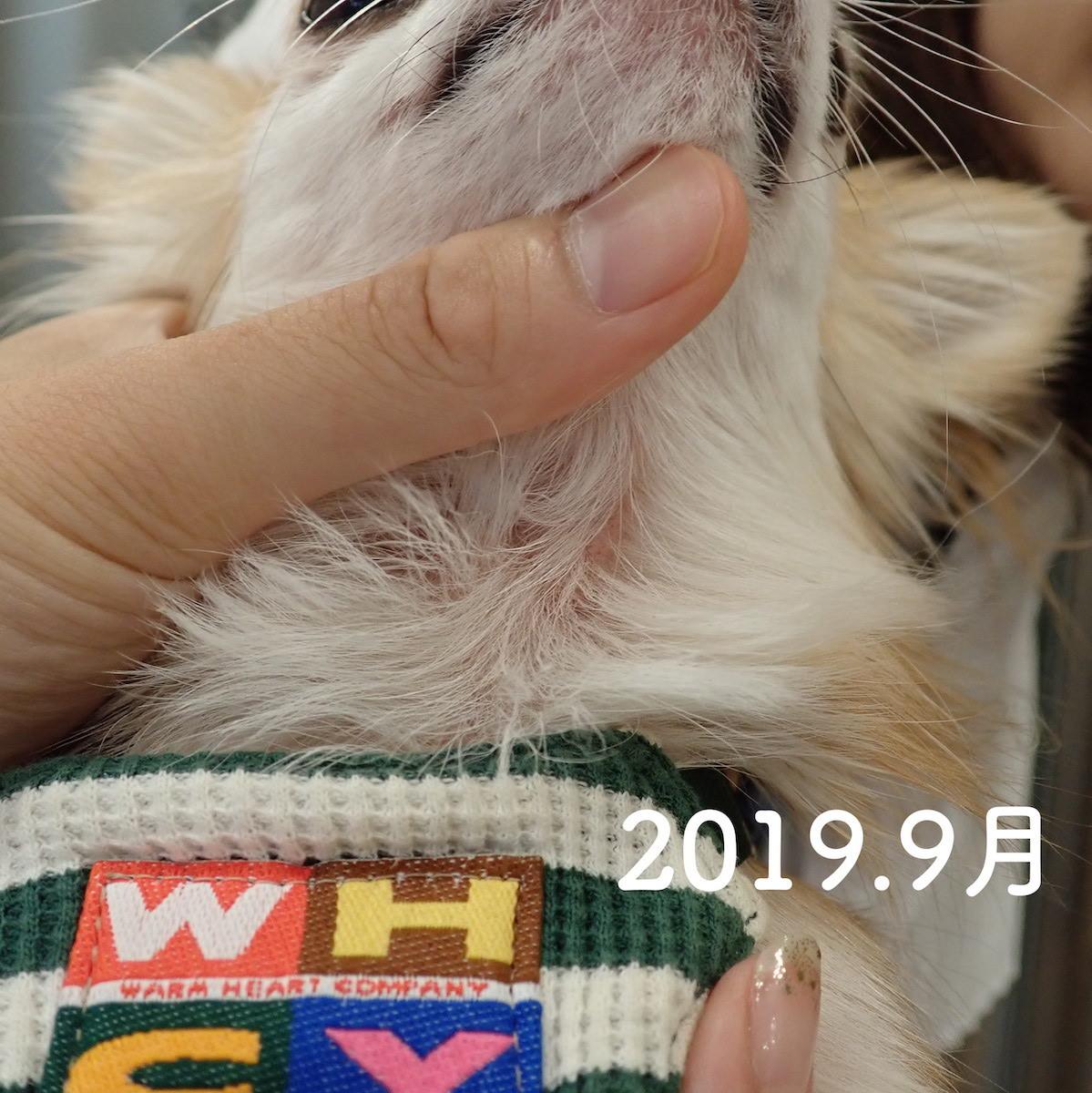 犬の脂漏性皮膚炎で漢方薬治療している琥珀ちゃん